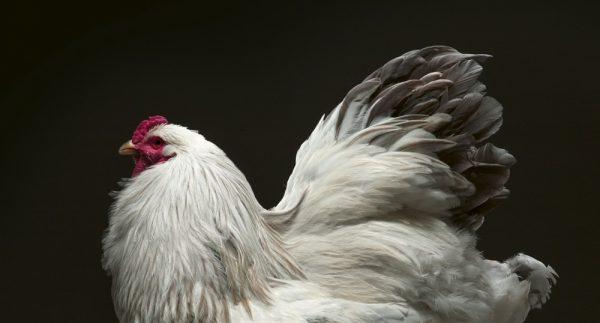 9783961712618 Chicken a Declaration of Love