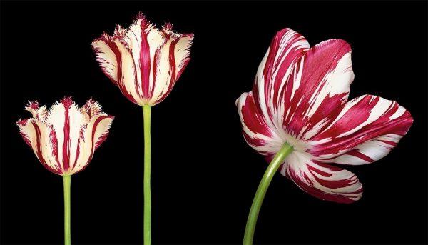 9783961712656 Tulips